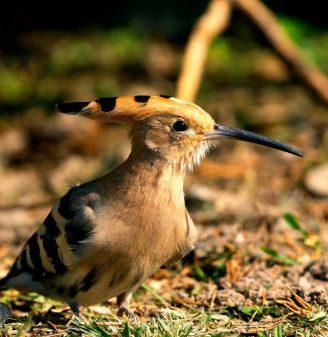 The Fauna of Israel - Eurasian Hoopoe