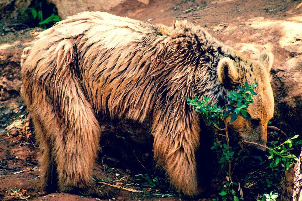 Mount Hermon - Syrian Brown Bear