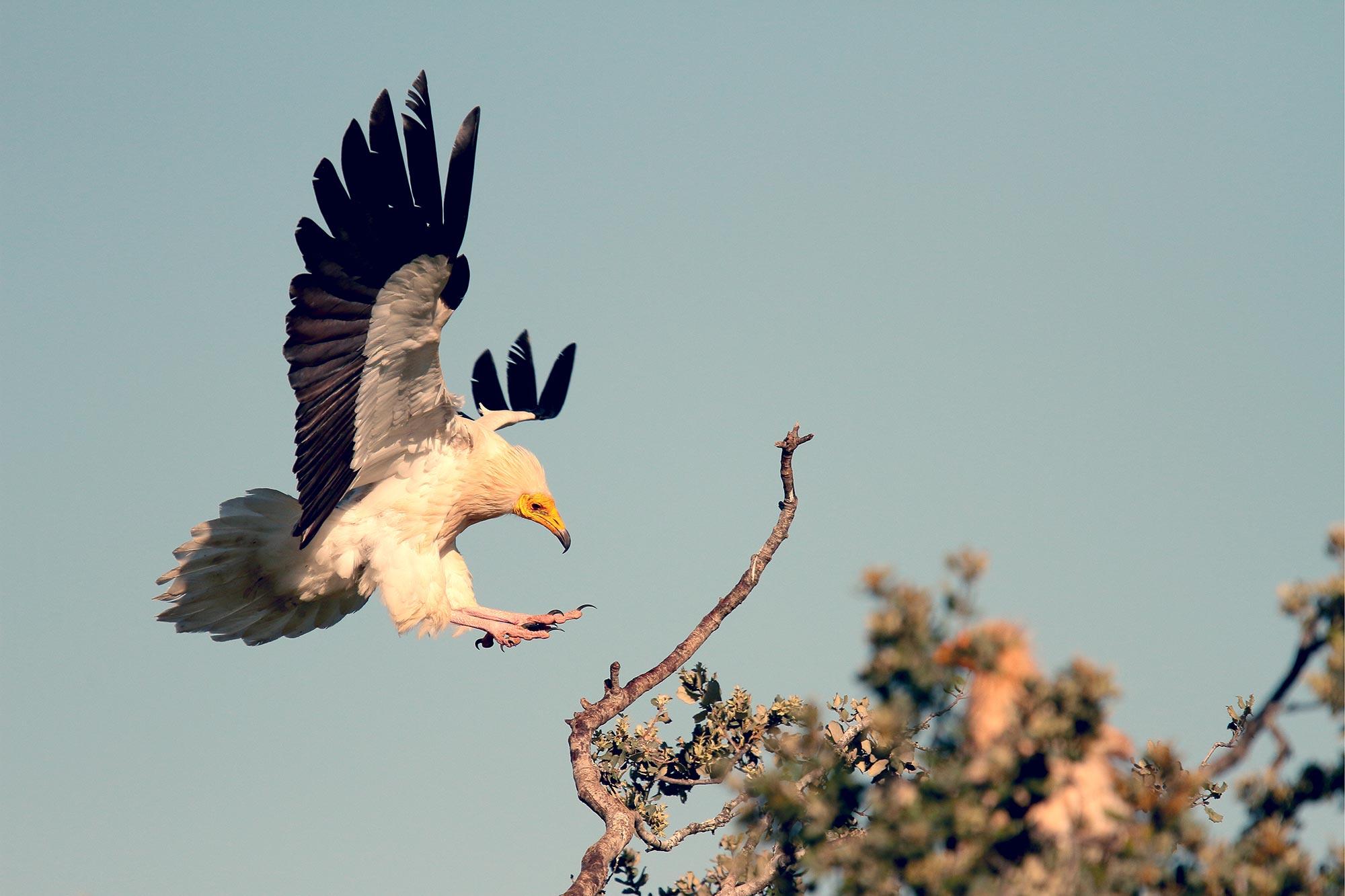 Fauna of Israel - Egyptian Vulture