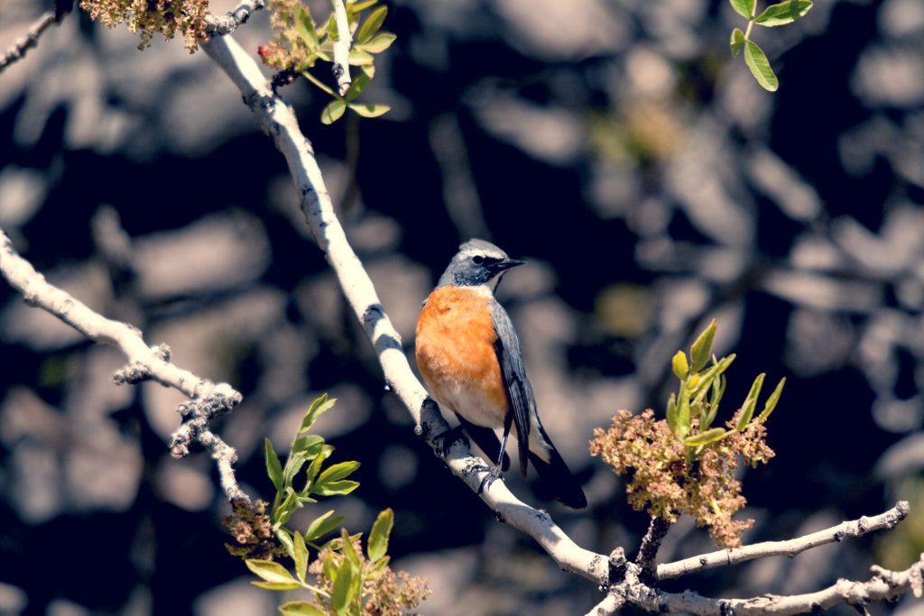 Mount Hermon - White-Throated Robin