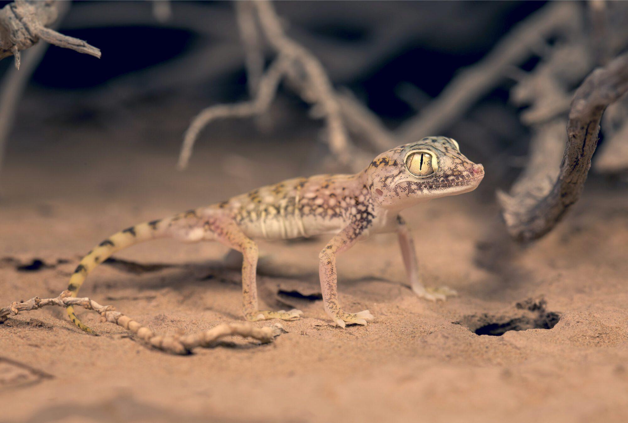 The Wildlife in the Arava Valley -  Lizarad