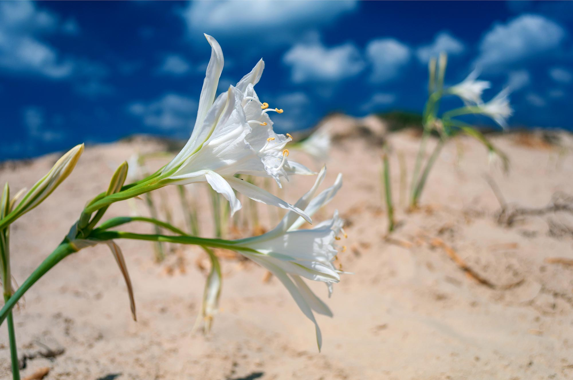 Israel's Shoreline Top Trails - Sea Daffodil Israel