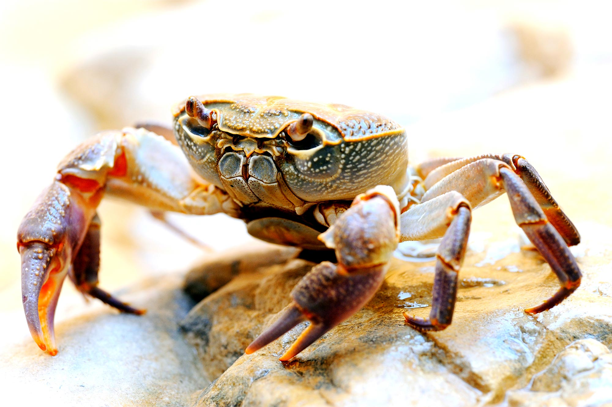 The Fauna of Israel - Freshwater Crab