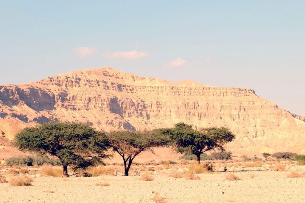 Wildlife In The Arava Valley: Umbrella Thorn Acacia