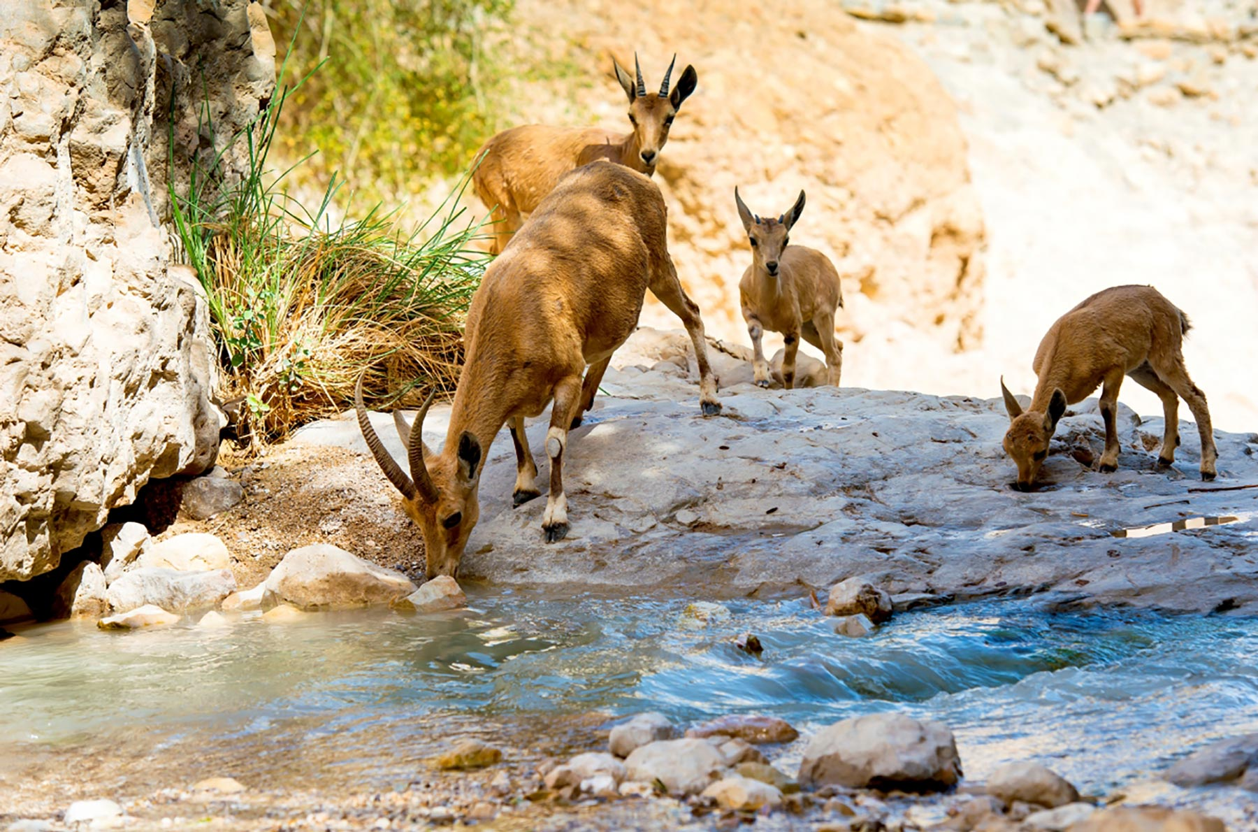 Start Here - Nubian Ibex Female