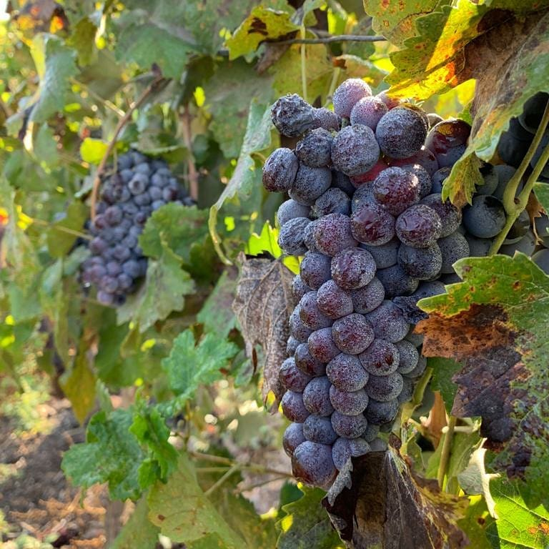 Samaria Day Tour - Psagot Winery Vineyard