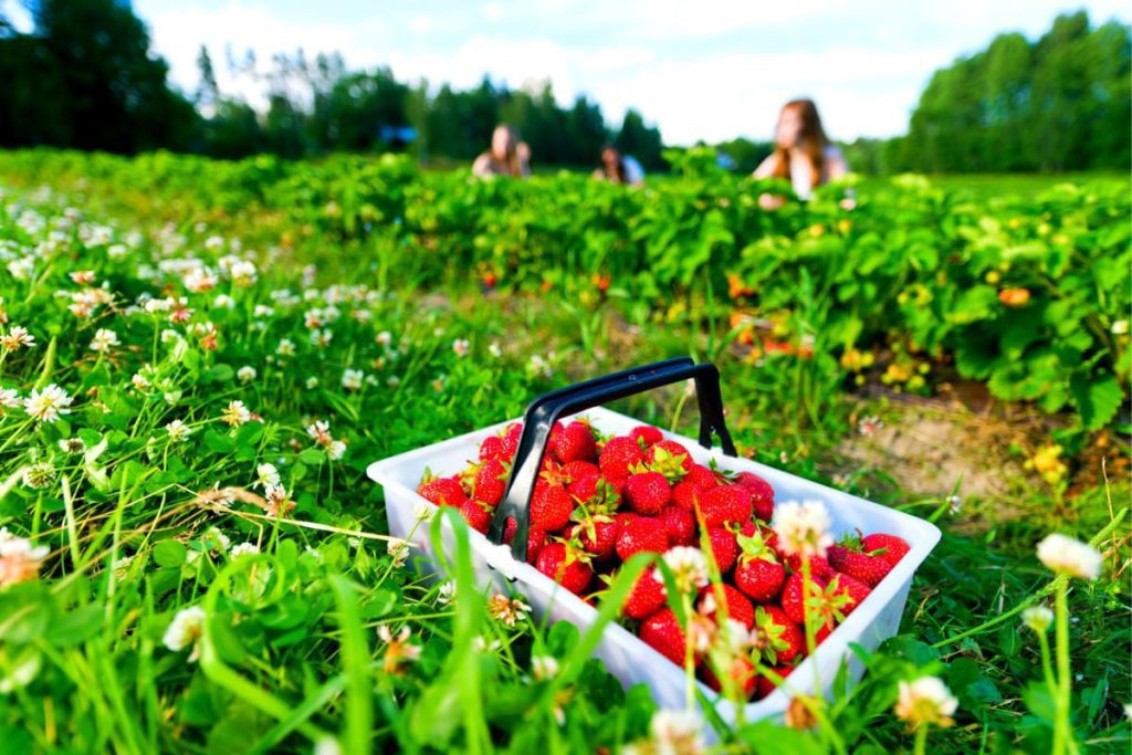 Fun Things to Do in Israel With Kids - Strawberry Picks
