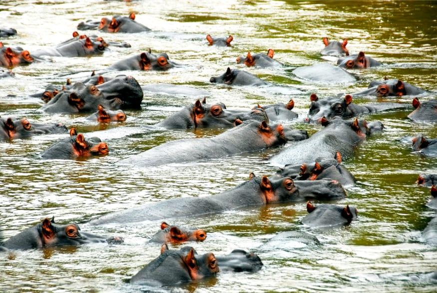 Ramat Gan Safari Hippo