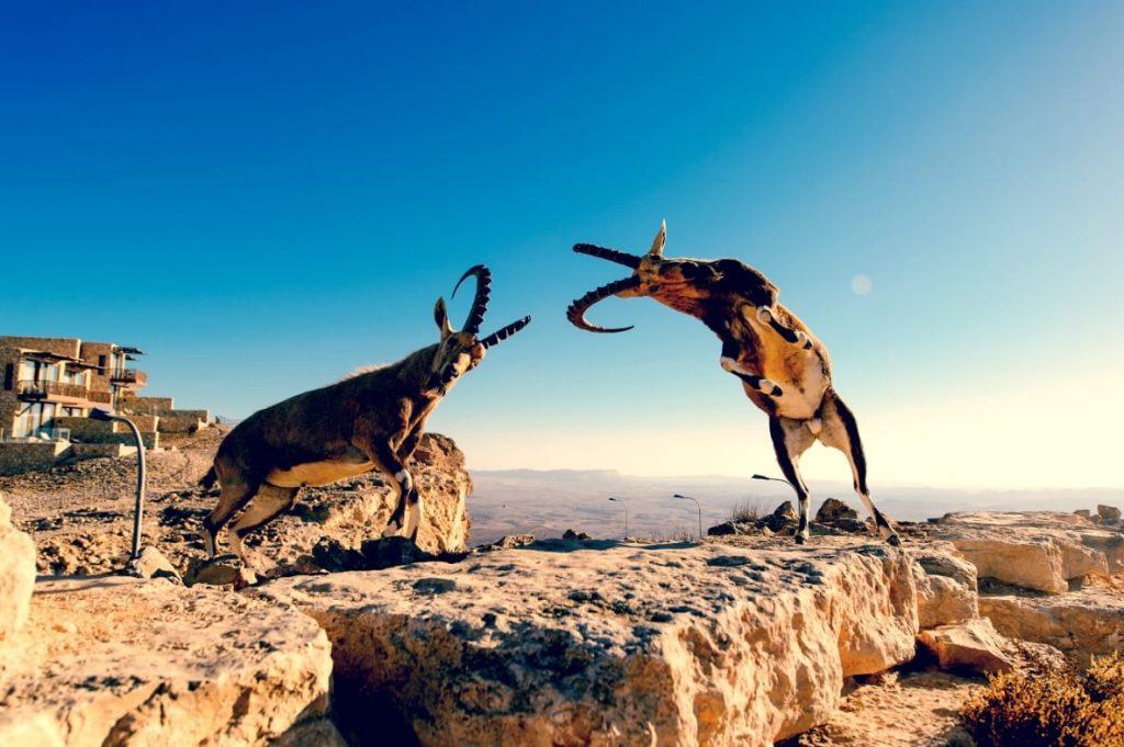 Nubian Ibex (Capra nubiana) at Ramon