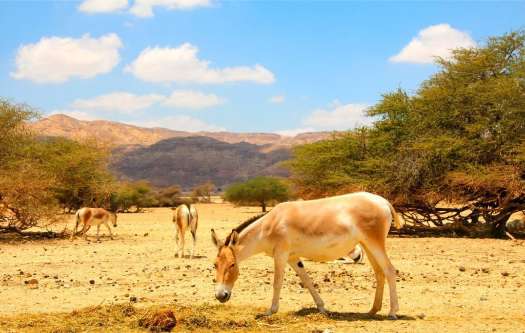 The Fauna of Israel -Asiatic-Wild-Ass-aka-Equus-hemionus-in-the-Hay-Bar-Yotvata-Nature-Reserve-for-restoration-of-extinct-animals-Arava-valley-South-Israel