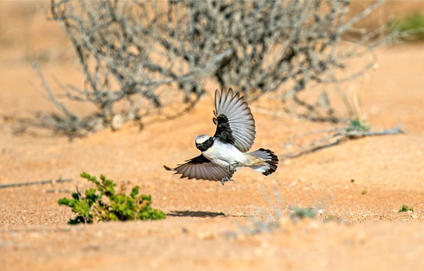 The-Fauna-of-Israel-Mourning-wheatear-Oenanthe-lugens-at-Negev-desert-near-Eilat-Israel