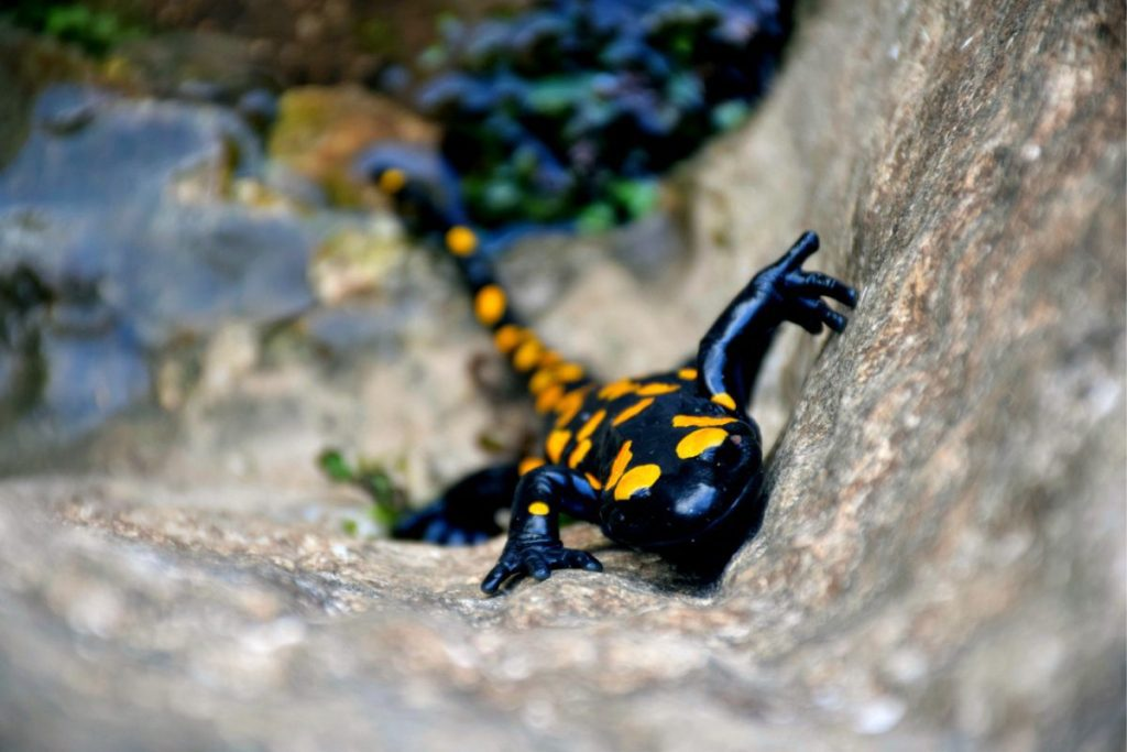 The Fauna of Israel - yellow spotted salamander